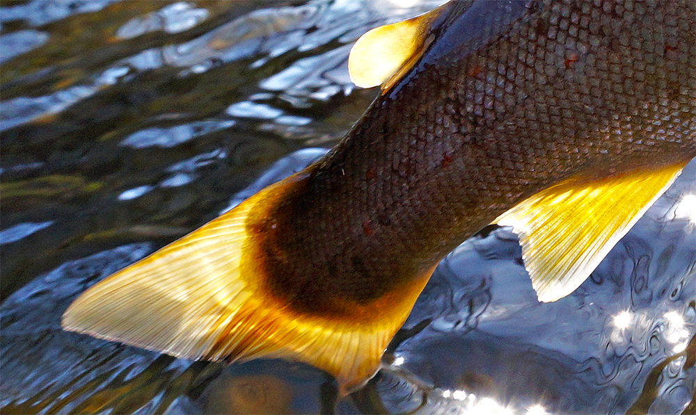 trout-tail-crop-photo-made-by-Lucian-Vasies